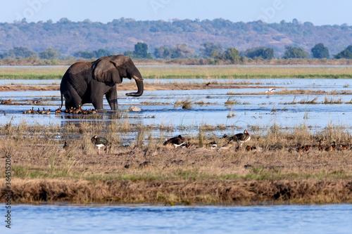 Wallpaper Mural African Elephant (Loxodonta africana) Botswana