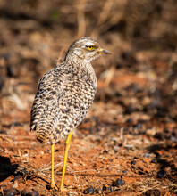A Spotted Thick-knee, Photographed In South Africa In The Wild.