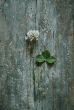 White Clover On Wooden Surface