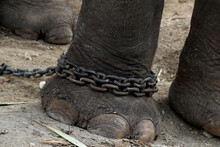 Chained Elephant 13