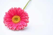 Closeup Of Pink A Barberton Daisy On A White Background With Space For Your Text