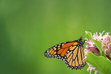 Monarch Butterfly On A Flower With Green Background For Copy Space