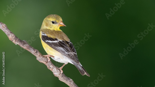 Obraz na plátne American Goldfinch Perched on a Slender Tree Branch