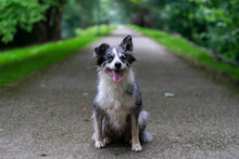 Happy Active Purebred Furry Black Border Collie Dog Standing In Asphalt Path Road In Green Park