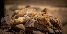 Adorable Baby Lion Lying On A ...
