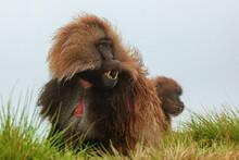 Gelada Baboon Sitting On Lush ...