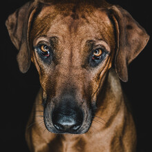 Purebred Ridgeback Dog On Blac...