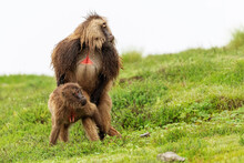 Male And Female Baboons Copulating On Wet Meadow During Overcast Day In Africa