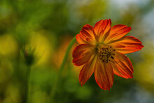 Cosmos Sulphur Orange Flower
