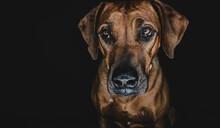 Purebred Ridgeback Dog On Blac...