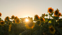 Sunflower, Large Yellow Heliot...