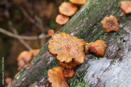 Fotografía Mushrooms growing on a decaying coconut tree trunk