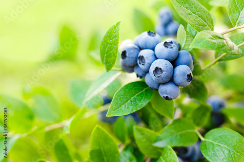 Fotografie, Tablou Blueberry. Fresh berries with leaves on branch in a garden.