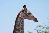 Fototapeta Zwierzęta - Głowa żyrafy (giraffa camelopardalis) z profilu