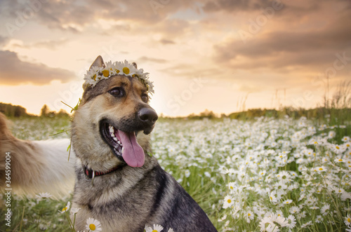 Foto Dog on a walk in the summer on a green meadow with wild white daisies