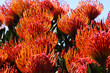 canvas print picture - Silver-edge Pincushion Protea Flowers In Bloom (Leucospermum patersonii), Betty's Bay, South Africa