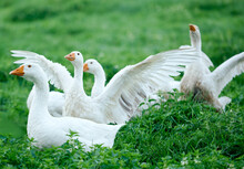 White Geese On The Green Grass...