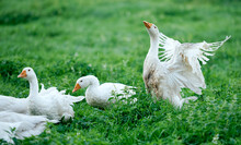 White Geese Eat Green Grass O...