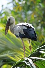 White Stork In The Grass