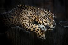 Jaguar Resting On A Rock Shelter.