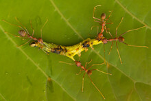 Red Ants Eating Caterpillar On...