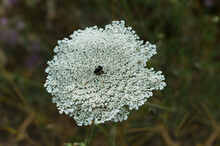 Close Up Of The Wild Carrot, Bird's Nest, Bishop's Lace Or Queen Anne's Lace Flower (Daucus Carota)