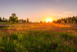 Sunset or dawn on a field with purple wild carnations and young birches in clear summer weather and a clear cloudless sky.
