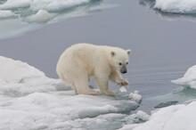 Polar Bear Cub (Ursus Maritimus) Playing With A Piece Of Ice, Svalbard Archipelago, Barents Sea, Norway