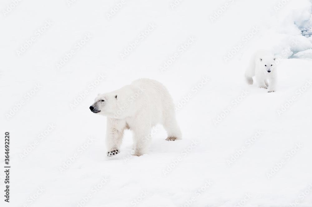 Female polar bear (Ursus maritimus) and cub, Svalbard Archipelago, Barents Sea, Norway