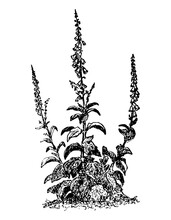 Digitalis Branch With Flower And Leaves On Isolated Background. Forest Foxglove Plant Sketch For Cosmetic Or Medical Ingredient. Hand Drawn Botanical Herb Ink Engrave Style. Vector Stock Illustration.