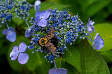 Carpenter Bee On A Top Of A Bl...