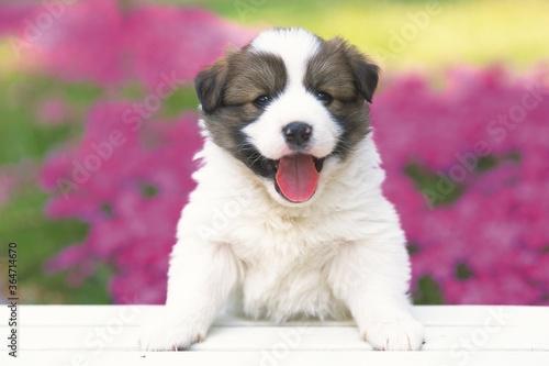Fototapeta jolie chien obraz