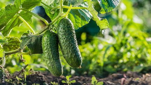 Fotografia Two cucumbers ripen on a bed in the sun