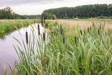 Broadleaf Cattail Or Bulrush (latin Name: Typha Latifolia) In A Wetland In The Netherlands