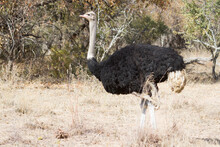 Common Ostrich (Struthio Camelus) Male Closeup Walking Alone Through The Bushveld In South Africa