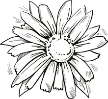Arnica Yellow Flower Vector Illustration. Blooming Flowers And Green Leaves. Mountain Tobacco, Leopards Bane And Wolfsbane, Genus Aconitum. Bucculatrix Arnicella, Arnica Montana Herb Plant