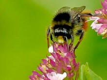 Red-tailed Bumblebee On Oregan...