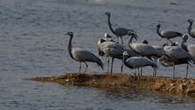 A Flock Of Demoiselle Cranes G...