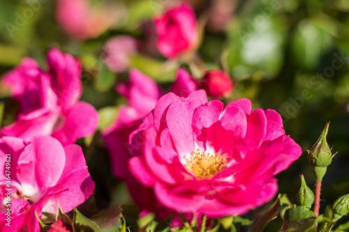 Gros plan sur des roses de France (Rosa Gallica L.) Fotobehang