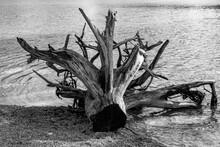 Baum Wurzel Ufer Schwarz Weiß...