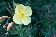 Large-flowered Evening Primros...