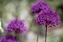 Allium 'AMBASSADOR' Ornamental Garlic