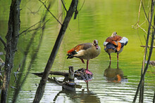 Two Egyptian Geese