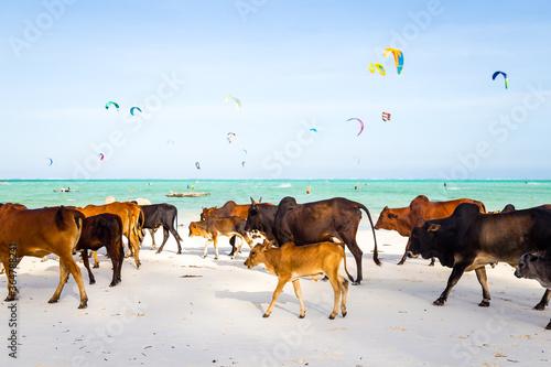 Vaches et Kytesuf sur une belle plage de Zanzibar en Tanzanie Canvas Print