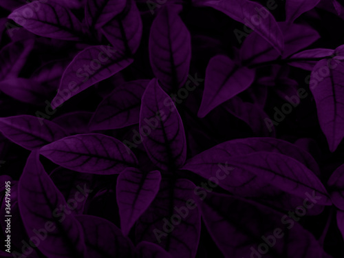 Beautiful abstract color blue and purple flowers on black background and purple graphic pink flower frame and pink leaves texture, purple background, colorful graphics banner, purple leaves #364791695