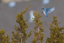 Mountain Bluebird Landing On Juniper Tree