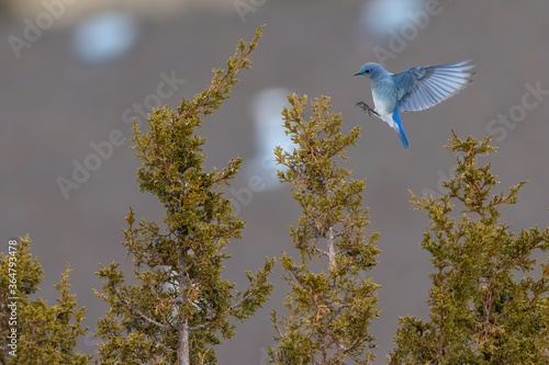 Mountain Bluebird landing on Juniper Tree Fototapeta