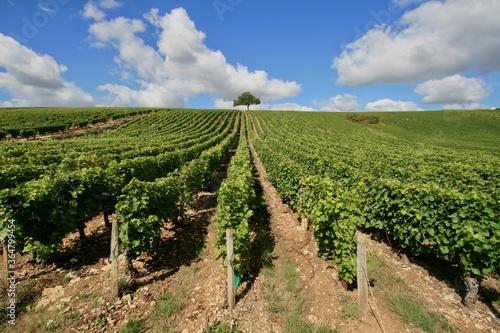 Fototapeta A vineyard in Gaillac Tarn France