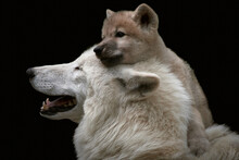 Close-up Of A Cute And Playful Arctic Wolf Pup (Canis Lupus Arctos) Close To Mother And Isolated On Black Background