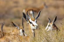 Group Of Springbuck Youngsters
